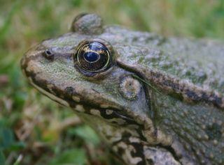 Marsh frog head