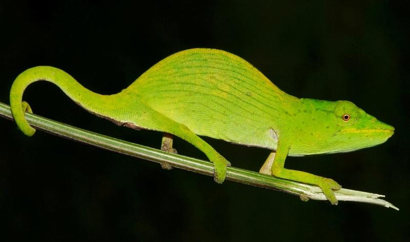 Tarzans_chameleon__calumma_tarzan_jorn_kohler