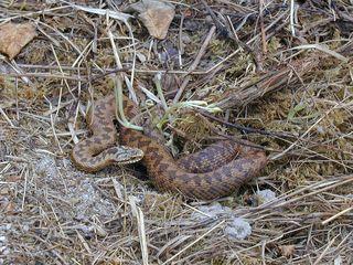 Female adder close to hibernaculum