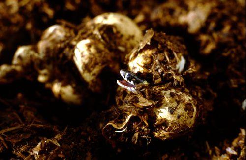 Grass Snake Hatching