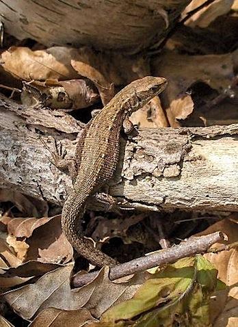 Viviparous lizard.JPG