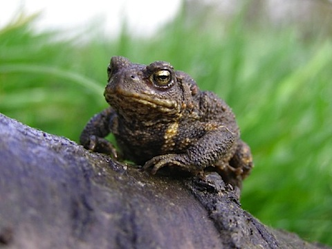 common_toad.jpg