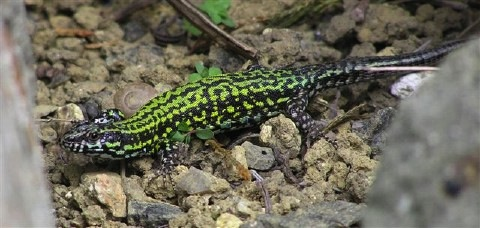 wall lizard by nigel jarman.jpg